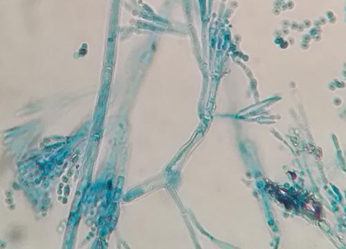 Penicillium